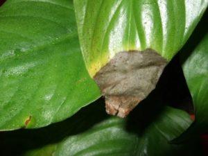Сухие кончики листьев
