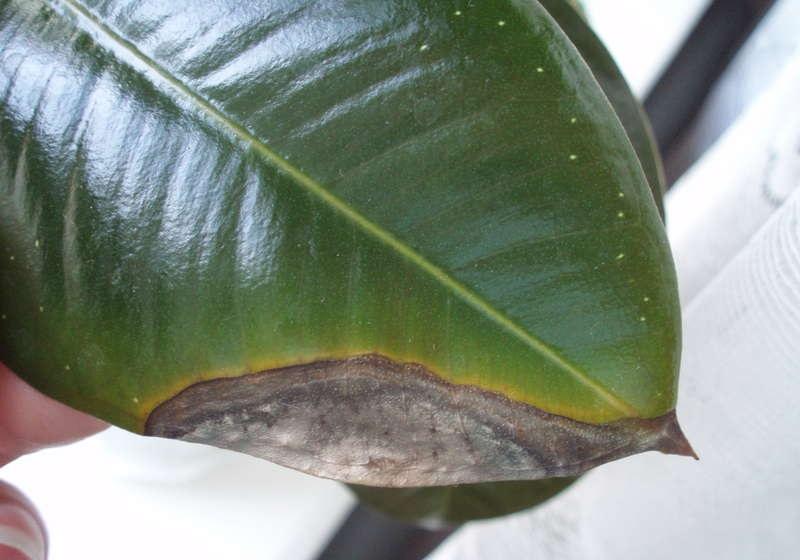 Засыхающий лист фикуса