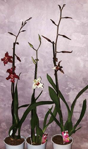 фото 3 разные орхидеи Беаллара в горшках