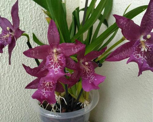 яркие фиолетовые цветы распустившейся в горшке орхидеи Беаллары
